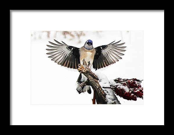 Stumped Blue Jay Framed Print featuring the photograph Stumped Bluejay by Randall Branham