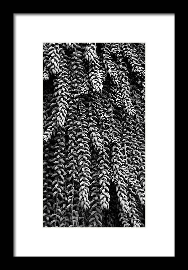 Sedum Framed Print featuring the photograph Succulent 4 by Xueling Zou