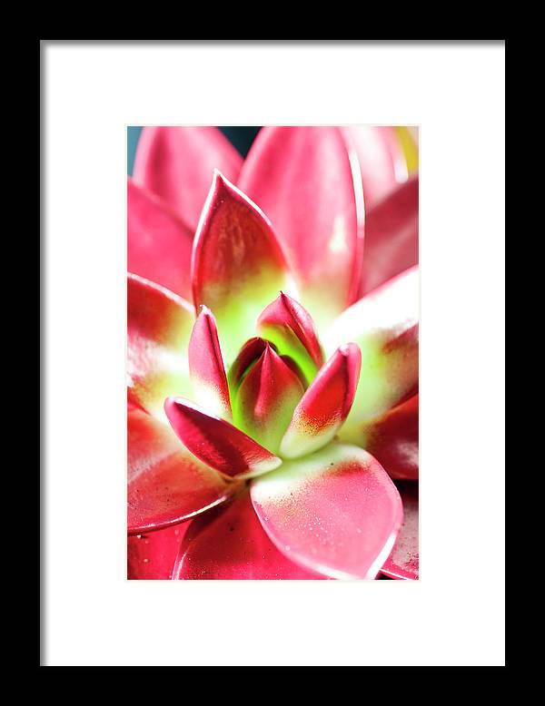 Cut Out Framed Print featuring the photograph Succulent Echeveria by Lrescigno