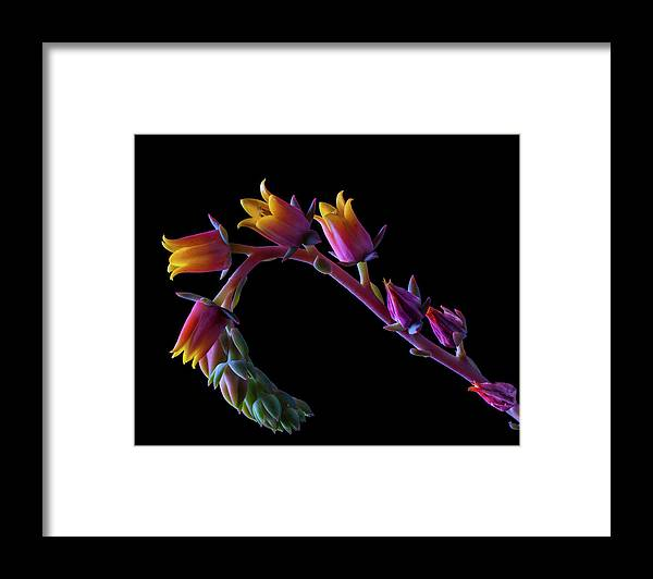 California Framed Print featuring the photograph Succulent Flowers On A Stalk by Bill Gracey