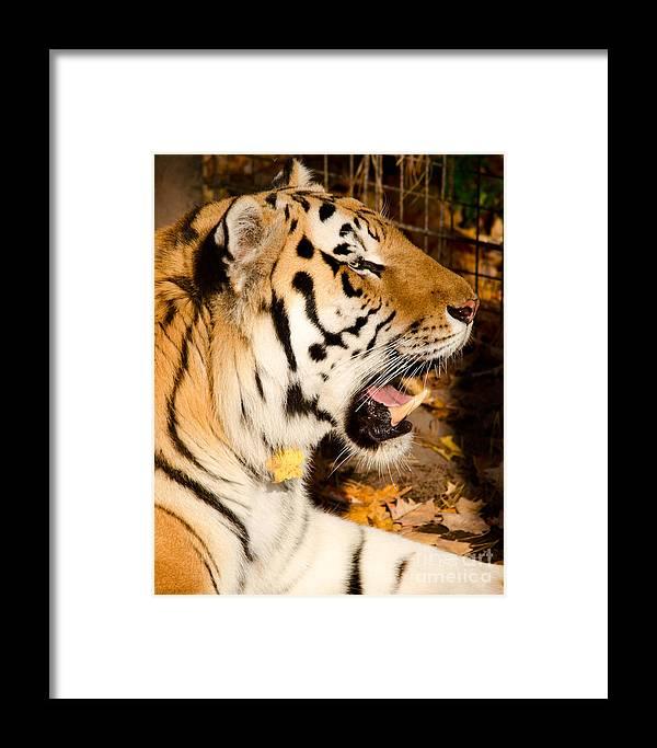 Sumatran Framed Print featuring the photograph Sumatran Tiger by Les Palenik