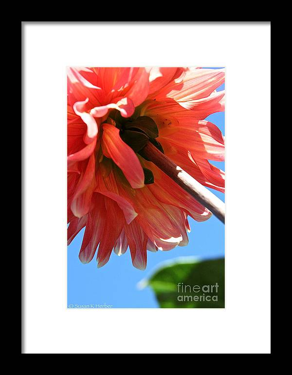 Flower Framed Print featuring the photograph Summer's End Dahlia by Susan Herber