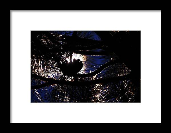 Pine Tree Framed Print featuring the photograph Sun Cone by Michael Courtney