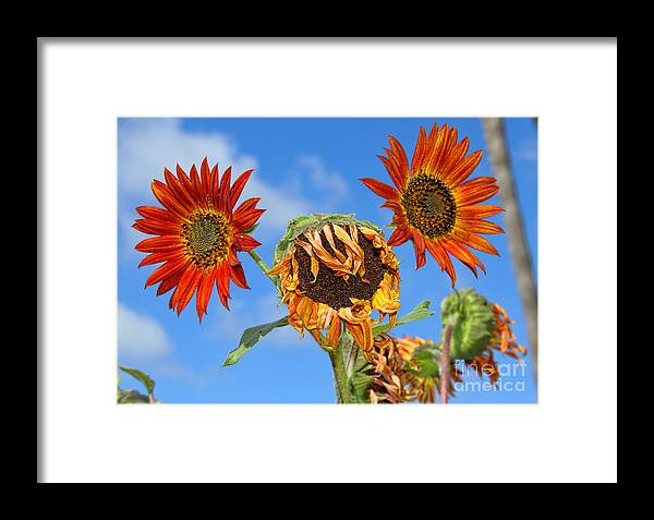 Sunflower Framed Print featuring the photograph Sun Drenched In Autumn By Diana Sainz by Diana Raquel Sainz