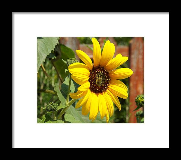 Floral Framed Print featuring the photograph Sun Flower by Lorenzo Williams