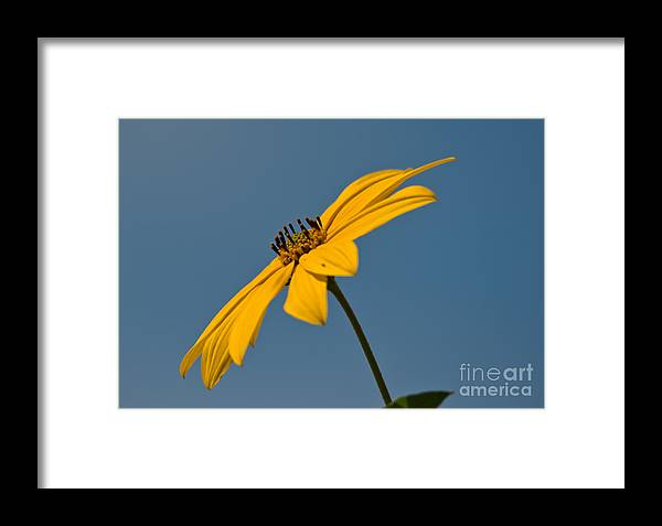 Maximilian�s Sunflowers Framed Print featuring the photograph Sun Kissed by Cheryl Baxter
