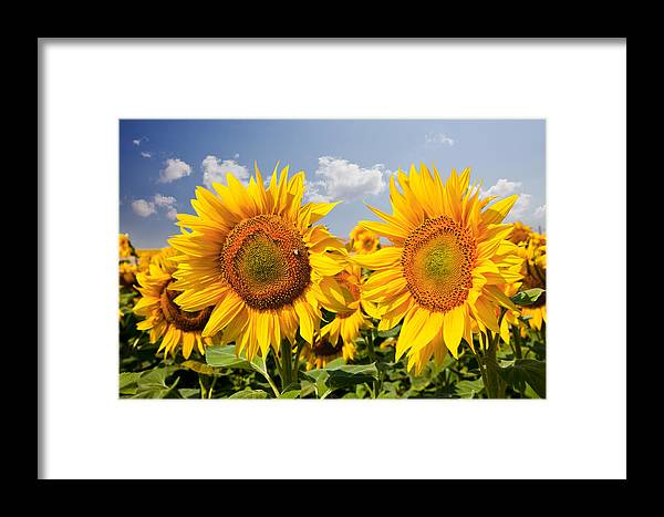 Agriculture Framed Print featuring the photograph Sunflower Field And Blue Sky by Daniel Barbalata