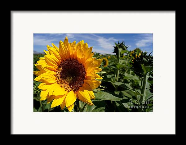 Agriculture Framed Print featuring the photograph Sunflower Glow by Kerri Mortenson