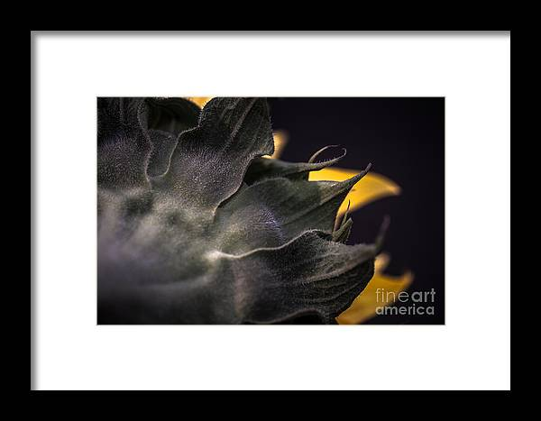 Framed Print featuring the photograph Sunflower IIi by Nel Saints