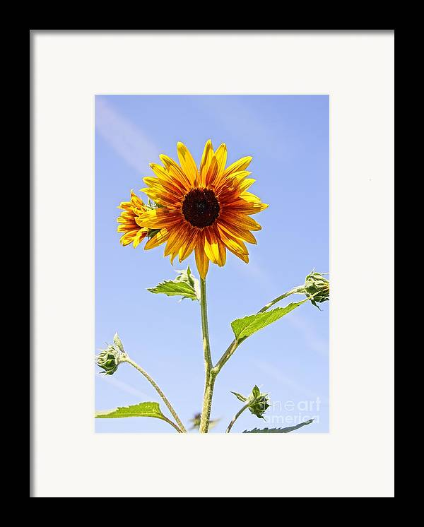 Agriculture Framed Print featuring the photograph Sunflower In The Sky by Kerri Mortenson