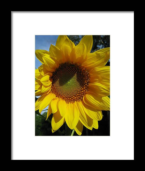 Sunflower Framed Print featuring the photograph Sunflower by Laura Corebello