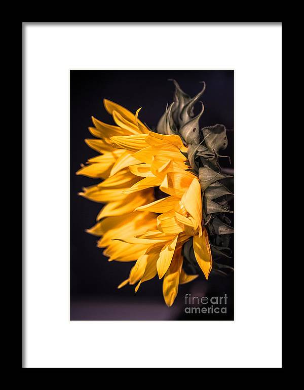 Framed Print featuring the photograph Sunflower by Nel Saints