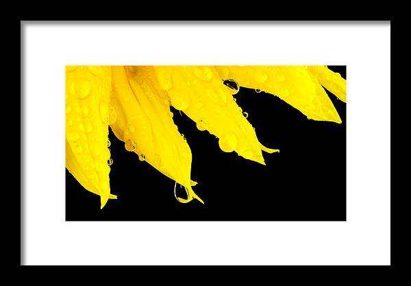 Sunflower Framed Print featuring the photograph Sunflower by Nick Field