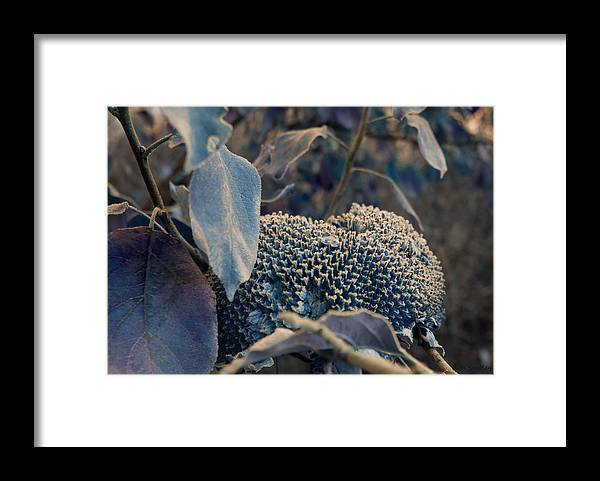 Sunflower Framed Print featuring the photograph Sunflower Seeds and Apple Leaves by Jo Smoley