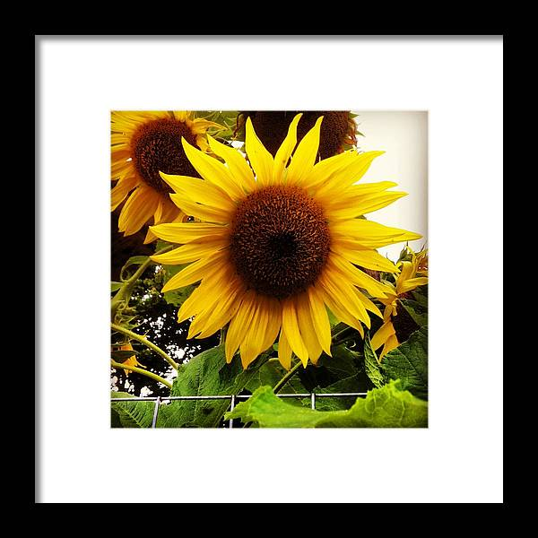 Flowers Framed Print featuring the photograph Sunflower Sunshine by Sheri Nelson