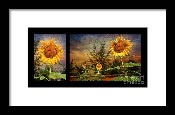 Sunflower Framed Print featuring the photograph Sunflowers by Adrian Evans
