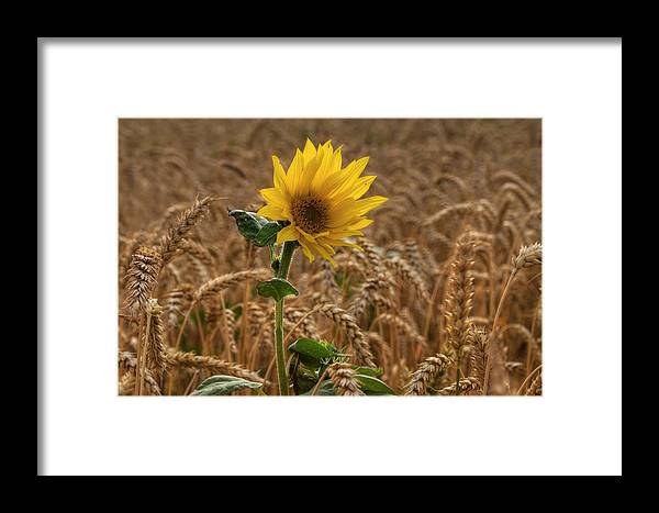 Sommer Framed Print featuring the pyrography Sunflowers At Corny by Steffen Gierok