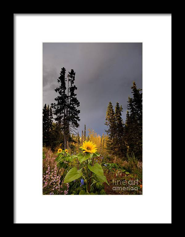 Autumn Framed Print featuring the photograph Sunflowers In Northern Garden In Fall by Stephan Pietzko