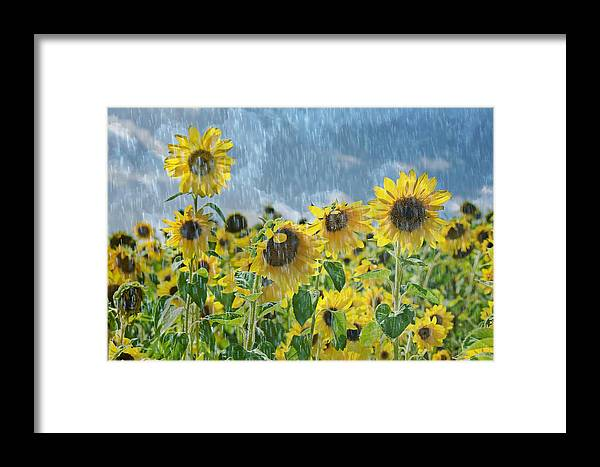 Raindrop Framed Print featuring the mixed media Sunflowers In The Rain by Maria Dryfhout