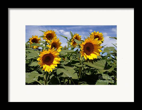 Agriculture Framed Print featuring the photograph Sunflowers by Kerri Mortenson