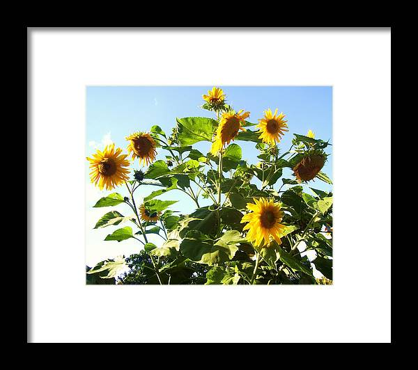 Flowers Framed Print featuring the photograph Sunflowers by Ramon Labusch