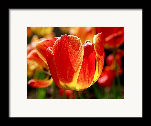 Orange Framed Print featuring the photograph Sunlit Tulips by Rona Black