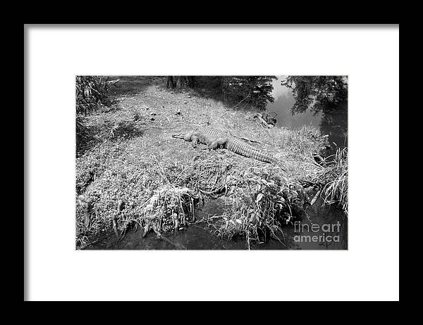 Black And White Framed Print featuring the photograph Sunny Gator Black And White by Joseph Baril