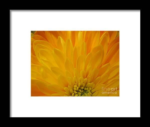 Floral Framed Print featuring the photograph Sunrise Dahlia Abstract by Tara Shalton