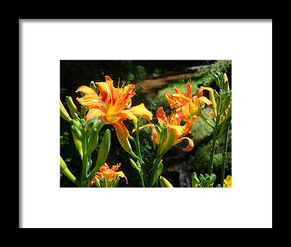 Daylily Framed Print featuring the photograph Sunshine by Jean Blackmer