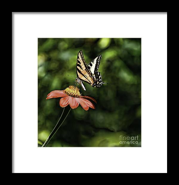 Butterfly's Framed Print featuring the photograph Swallow Tail Butterfly by Bill Baer