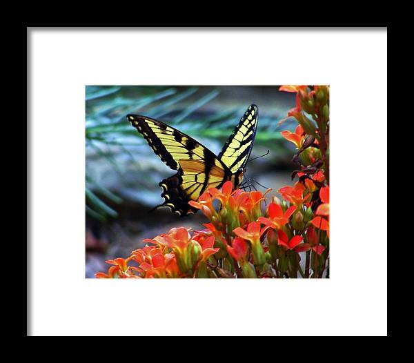 Swallow Tail Butterfly Framed Print featuring the photograph Swallow Tail Butterfly Posing by William Fox