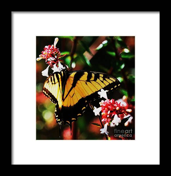Swallowback Butterfly Photography Nature Photography Animal Photography Portrait Photography Tranquil Photography Spring Photography Jamestown Va Close Up Photography Greeting Card Poster Print Canvas Print Metal Frame Available On Tote Bags T Shirts Duvet Covers Throw Pillows Shower Curtains And Phone Cases Framed Print featuring the photograph Swallowback Butterfly # 1 by Marcus Dagan