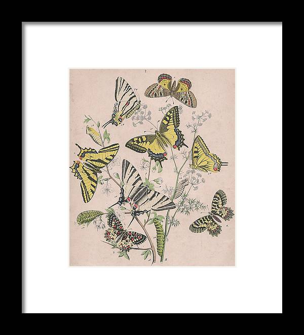 Swallowtail Butterfly Framed Print featuring the drawing Swallowtail Butterflies - Papilionidae by W Kirby