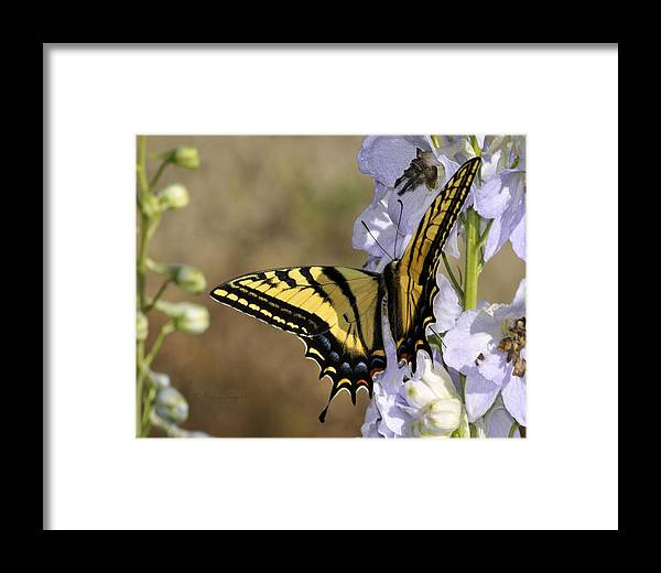 Beautiful Framed Print featuring the photograph Swallowtail Butterfly 1 by Roger Snyder