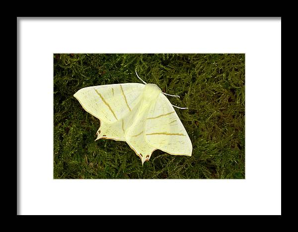 Animal Framed Print featuring the photograph Swallowtail Moth by Nigel Downer