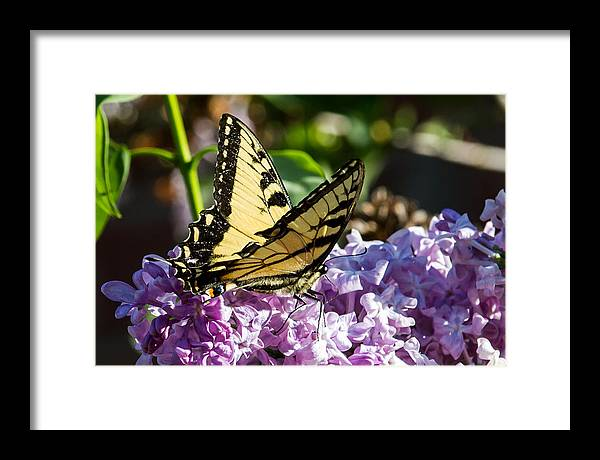 Yellow Butterfly Framed Print featuring the photograph Swallowtail On Lilac by Paula Ponath