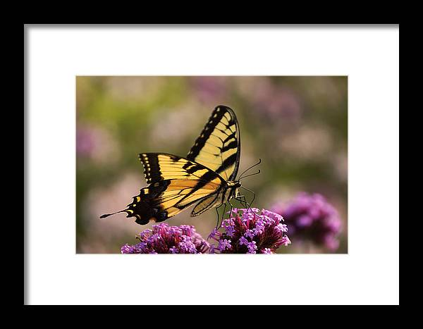 Swallowtail Butterfly Framed Print featuring the photograph Swallowtail Sweetness by Leda Robertson