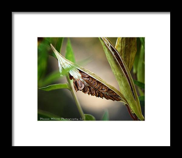 Swamp Milkweed Framed Print featuring the photograph Swamp Milkweed Pod by Dianna Wilson