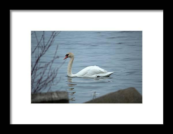 Swan Framed Print featuring the photograph Swan A Swimming by Linda Kerkau