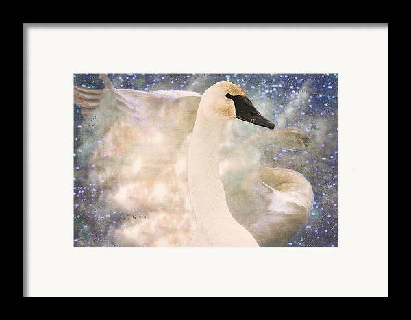Bird Framed Print featuring the photograph Swan Journey by Kathy Bassett
