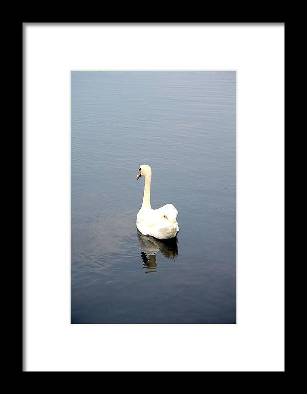 White Framed Print featuring the photograph Swan Lake. by Oscar Williams