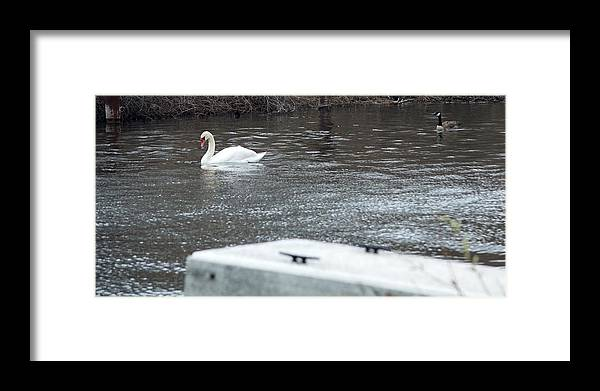 Swan Framed Print featuring the photograph Swan On The Water by Linda Kerkau