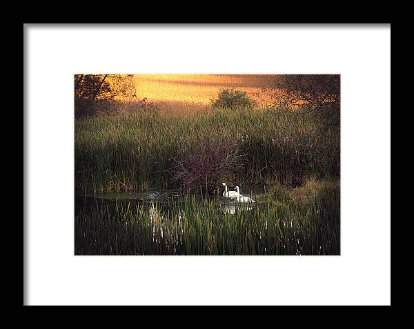Swans Framed Print featuring the photograph Swan by Theresa Heald