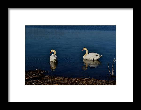 Swans Framed Print featuring the photograph Swans Belle Isle by Misty Johnson