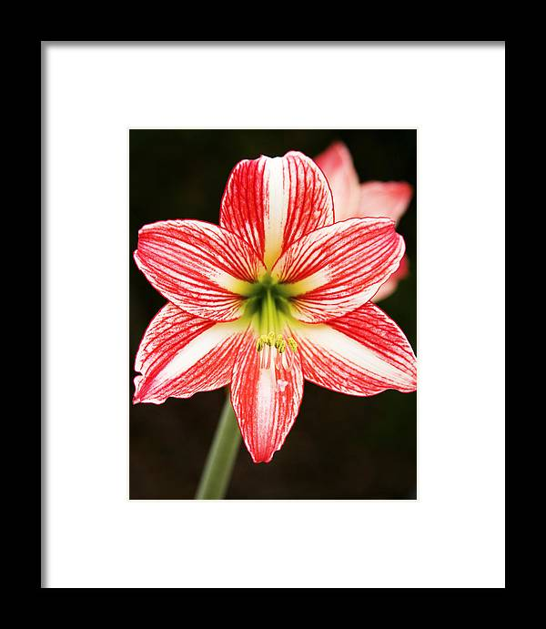 Amaryyllis Framed Print featuring the photograph Sweet Lillian Amaryllis by Rich Franco