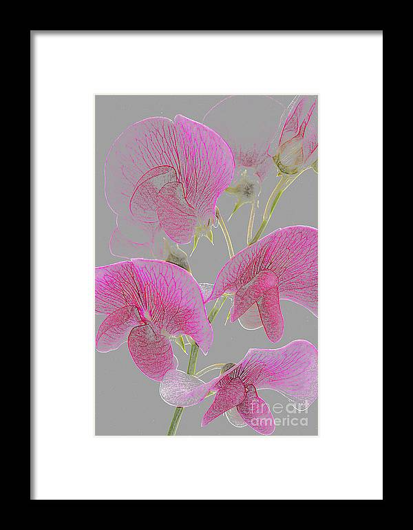 Sweet Pea Framed Print featuring the photograph Sweet Pea Flowers Converted To Coloured Pencil Drawing by Rosemary Calvert