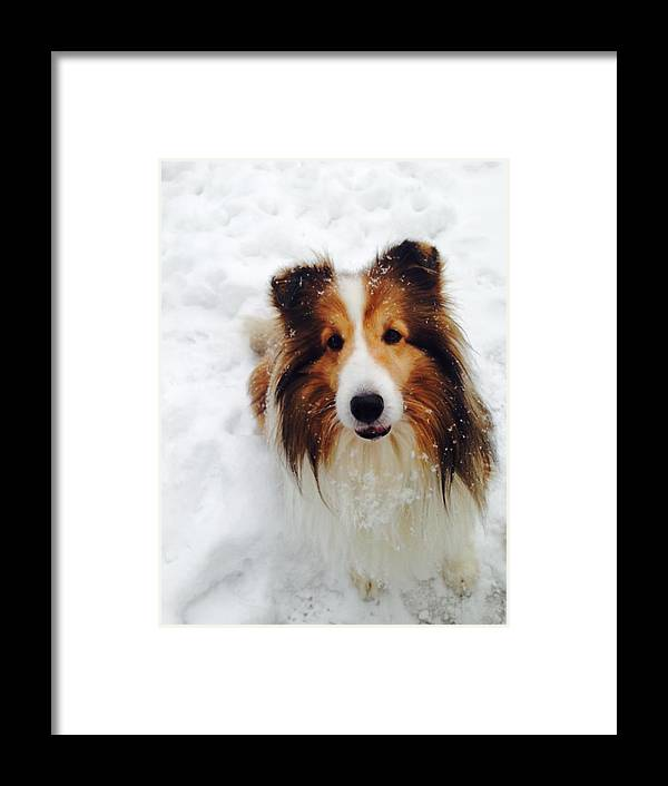 Sheltie Framed Print featuring the photograph Sweet Sheltie by Hayley Holzhacker