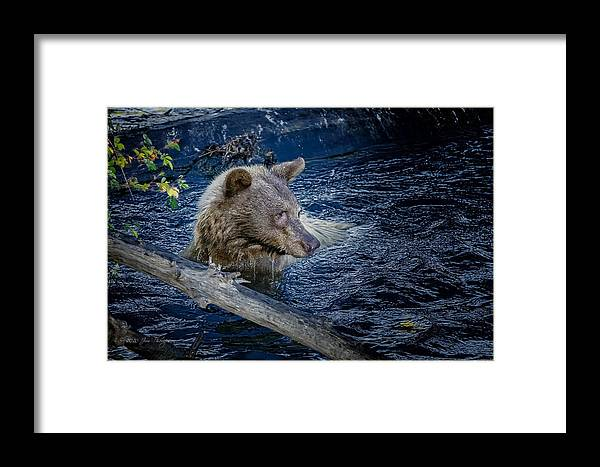 Wildlife Framed Print featuring the photograph Black Bear On Blue by Jim Thompson