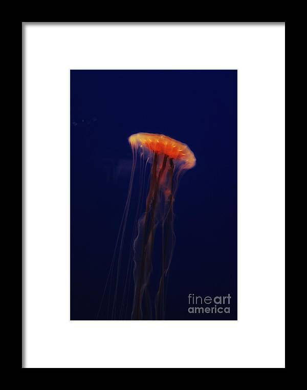 Jellyfish Framed Print featuring the photograph Swimming Beautifully by Jaclyn Hughes Fine Art