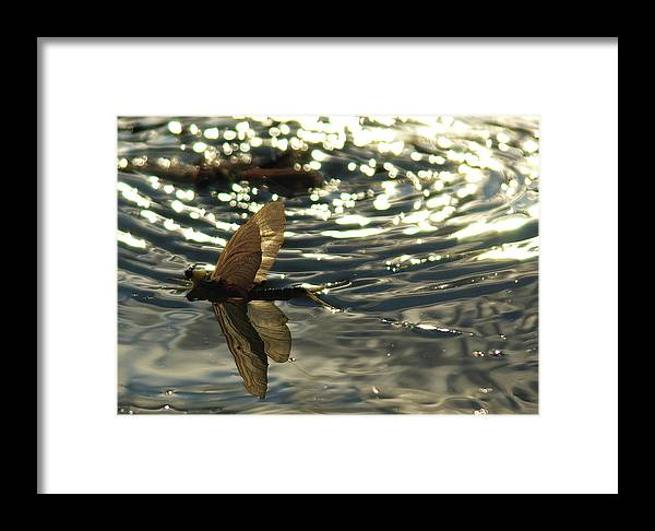 Polingenia Longicauda Framed Print featuring the photograph Swimming In The Light by Mikola Z